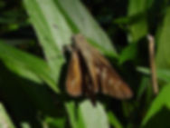 Calpodes ethlius, Brazilian Skipper