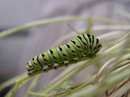 Papilio polyxenes, Black Swallowtail larva