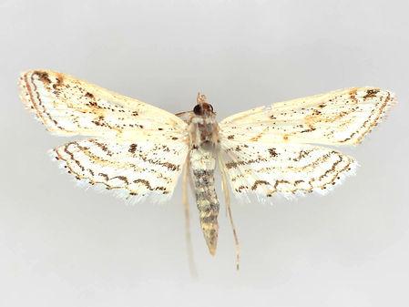 Parapoynx aleonealis, Watermilfoil Leafcutter Moth