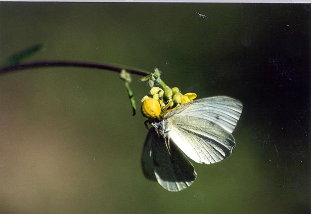 Pieris rapae, Cabbage White