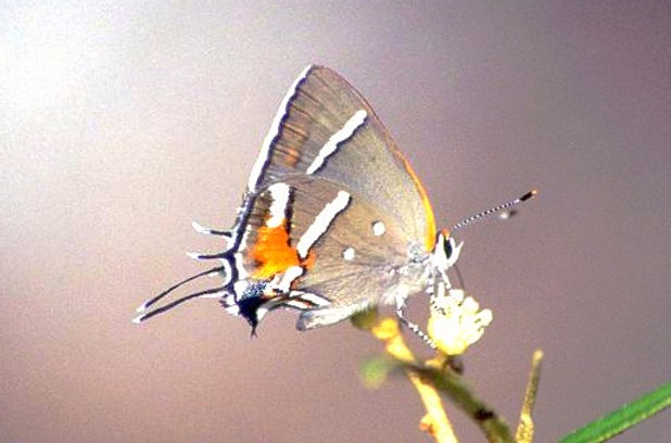 Strymon acis bartrami, Bartram's Scrub-Hairstreak