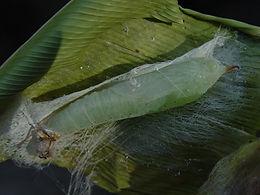 Calpodes ethlius, Brazilian Skipper pupa