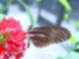 Heliconius charithonia tuckeri, Zebra Heliconian abarant