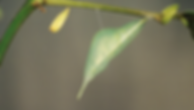 Aphrissa statira, Statira Sulphur pupa
