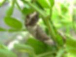 Papilio cresphontes, Giant Swallowtail