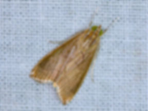 Trischistognatha pyrenealis
