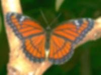 Limenitis archippus floridensis, The Florida Viceroy