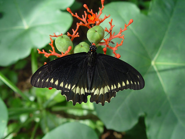 Battus polydamas, Polydamas Swallowtail