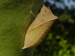 Eurytides marcellus, Zebra Swallowtail pupa