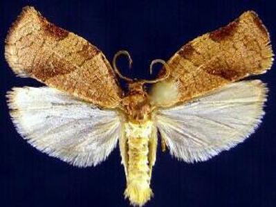 Choristoneura rosaceana, Oblique Banded Leafroller Moth