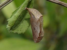 Phyciodes phaon, Phaon Crescent pupa