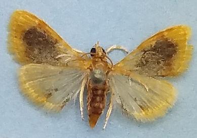 Glaphyria cappsi