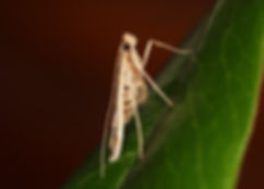Lineodes fontella, Eastern Lineodes Moth