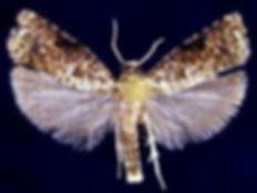 Episimus argutana, Sumac Leaftier Moth