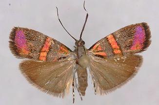Tortyra slossonia, Slosson's Metalmark Moth