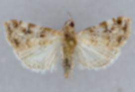 Hellula kempae, Kemp's Hellula Moth