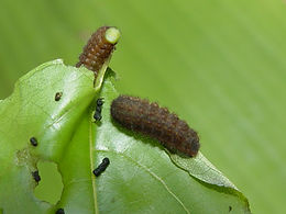 Electrostrymon angelia, Fulvous Hairstreak larva
