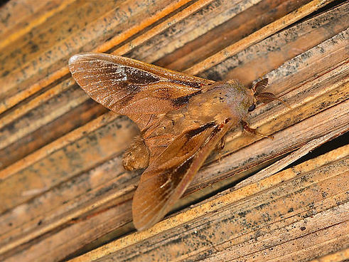 Oiketicus abbotii,Abbot's Bagworm Moth