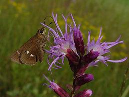 Oligoria maculata, Twin-spot Skipper