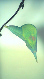 Phoebis philea, Orange-barred Sulphur pupa