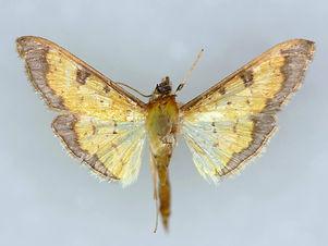 Diacme mopsalis, Mopsalis Diacme Moth
