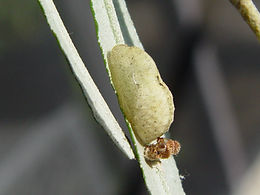 Strymon acis bartrami, Bartram's Scrub-Hairstreak pupa