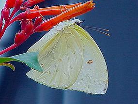 Aphrissa statira, Statira Sulphur