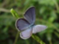 Hemiargus ceraunus antibubastus, Ceraunus Blue