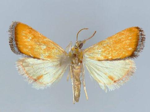 Aethiopysa delicata
