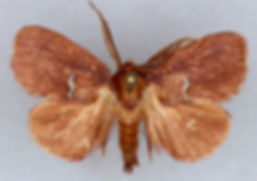 Monoleuca semifascia