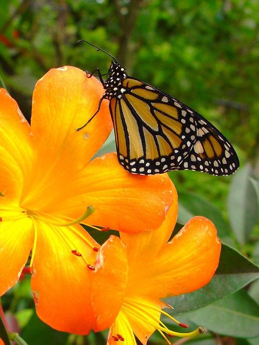 Danaus plexippus, Monarch