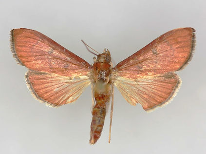 Omiodes rufescens