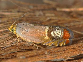 Cydia fahlbergiana