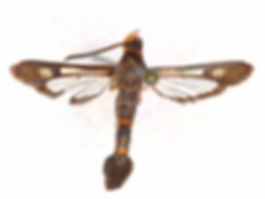 Carmenta texana,  Texana Clearwing Moth
