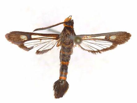 Carmenta texana, Texana Clearwing Moth