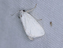 Alarodia slossoniae,  Packards White Flannel Moth