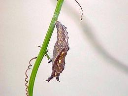 Dryadula phaetusa,Banded Orange pupa