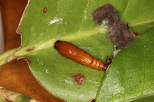 Desmia ploralis, Mournful Desmia Moth pupa
