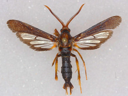Vitacea polistiformis,  Grape Root Borer Moth