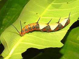 Marpesia petreus, Ruddy Daggerwing larva