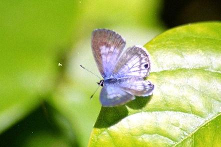 Leptotes cassius, Cassius Blue