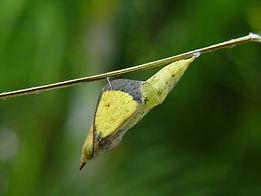 Eurema nise, Jamaican Sulphur pupa