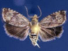 Ethelgoda new species