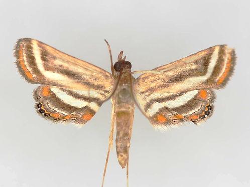 Parapoynx seminealis, Floatingheart Waterlilly Moth