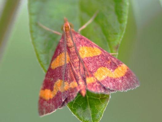 Pyrausta tyralis, Coffee-loving Pyrausta Moth