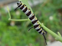 Danaus gilippus, Queen larva