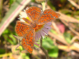 Calephelis virginiensis, Little Metalmark