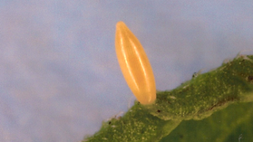 Phoebis philea, Orange-barred Sulphur egg
