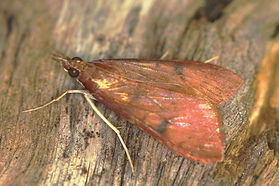 Uresiphita reversalis, Genista Broom Moth
