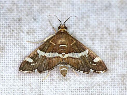 Spoladea recurvalis, Hawaiian Beet Webworm Moth
